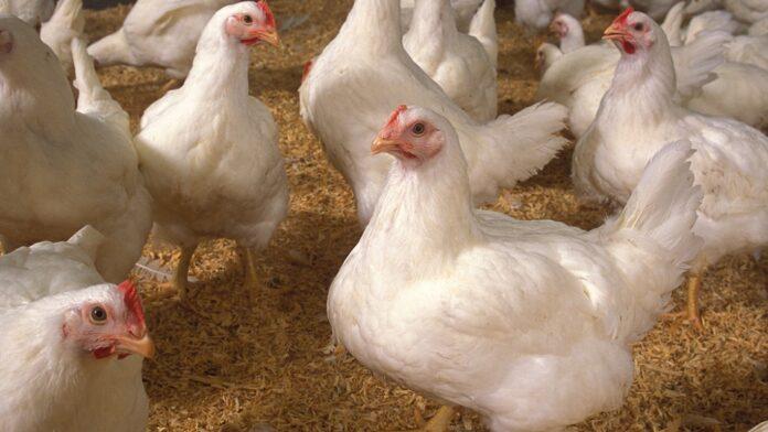 Broiler-Chicken-feature